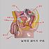 남자생식기 구조 모형 / 남성 생식기 구조 모형