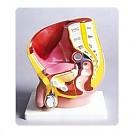남성생식기 모형(KIM-M0004)