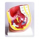 여성생식기 모형(KIM-M0003) / 여자 생식기 구조