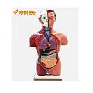 인체반신모형(소형A형)