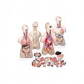 인체반신모형(A형)